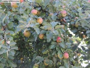 PEA pommes04
